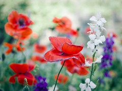 Coquelicots (mia depaola) Tags: dreamy vintagefeel nature poppies outside summer