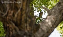 #Sharjah #UAE #birds #indianroller #indian_roller #bird #منتزه_الشارقة_الوطني #طيور #طائر #الشقراق_الهندي #العقعق #nikonmea #nikond5600 #tamron18400 #myphoto #photooftheday #picsoftheday #Coracias (alrayes1977) Tags: photooftheday sharjah منتزهالشارقةالوطني picsoftheday birds indianroller الشقراقالهندي nikonmea tamron18400 طائر nikond5600 bird طيور العقعق uae myphoto