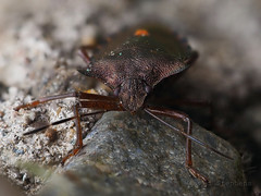 M2273978 E-M1ii 60mm iso400 f5.6 1_160s 0 Focus-stacked (Mel Stephens) Tags: 20190827 201908 2019 q3 4x3 wide olympus mzuiko mft microfourthirds m43 60mm omd em1ii ii mirrorless gps truecolor backwater reservoir uk scotland angus animal animals nature wildlife fauna insect stacked focus best