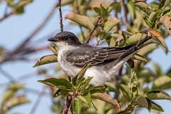 Eastern Kingbird (Gf220warbler) Tags: idaho tyrannus flycatcher migrant kingbird