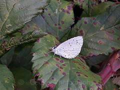 Holly Blue , Celastrina argiolus (6) (Geckoo76) Tags: butterfly insect hollyblue celastrinaargiolus