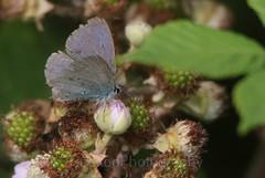 Holly Blue , Celastrina argiolus (5) (Geckoo76) Tags: butterfly insect hollyblue celastrinaargiolus