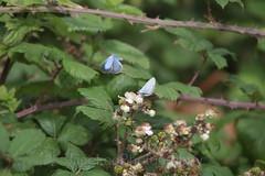 Holly Blue , Celastrina argiolus (3) (Geckoo76) Tags: butterfly insect hollyblue celastrinaargiolus