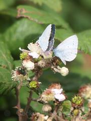 Holly Blue , Celastrina argiolus (2) (Geckoo76) Tags: butterfly insect hollyblue celastrinaargiolus