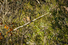 De reojo (SantiMB.Photos) Tags: 2blog 2tumblr 2ig invierno winter tordera maresme pájaro bird petirrojo robin bosque forest geo:lat=4171602865 geo:lon=272363839 geotagged cataluna españa