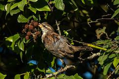 Picking fruit (davee10101) Tags: 2019 bird bramble housesparrow passerdomesticus sark gg