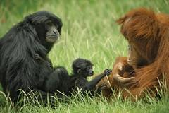 Primate Playmates (San Diego Zoo Global) Tags: primate primates sandiego sandiegozoo animals animal nature wildlife siamang baby babyanimals infants zoonooz
