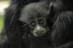 Tiny Siamang Survivor (San Diego Zoo Global) Tags: primate primates sandiego sandiegozoo animals animal nature wildlife siamang baby babyanimals infants zoonooz