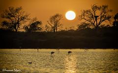 Flamingo sunset (Fernando Delgado) Tags: flamingo phoenicopterusroseus pôrdosol sunset riaformosa parquenaturaldariaformosa ludo setembro landscape seascape paisagem paisagemmarinha