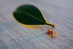801A8529 (鹽味九K) Tags: 小動物 蜘蛛 canoneos5dmarkiv taipei eos canon 佳能 photography exploration
