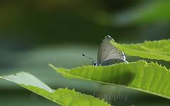 Holly Blue , Celastrina argiolus (Geckoo76) Tags: butterfly insect hollyblue celastrinaargiolus