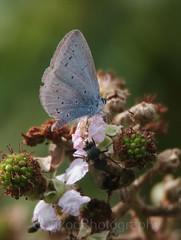 Holly Blue , Celastrina argiolus (4) (Geckoo76) Tags: butterfly insect hollyblue celastrinaargiolus