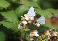 Holly Blue , Celastrina argiolus (1) (Geckoo76) Tags: butterfly insect hollyblue celastrinaargiolus