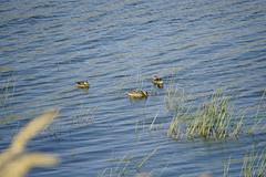_JLS4263 (Jenny Lynne Semenza) Tags: ducks teals