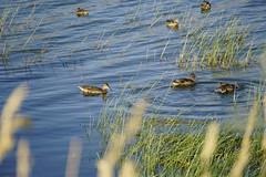 _JLS4270 (Jenny Lynne Semenza) Tags: ducks teals