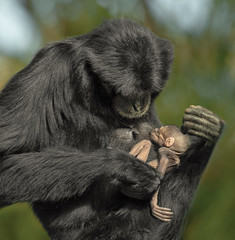 Premature Siamang Defies All Odds (San Diego Zoo Global) Tags: primate primates sandiego sandiegozoo animals animal nature wildlife siamang baby babyanimals infants zoonooz
