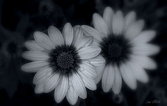 Daisies in the Dark (Lani Elliott) Tags: homegarden garden daisies flowers perennial bokeh upclose closeup macro darkbackground monochrome light bright