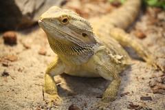 Bearded Dragon (Craigford) Tags: moncton newbrunswick canada zoo magnetichill reptile lizard beardeddragon
