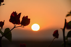 Kythera - sunset through flowers (athanecon) Tags: kythera kythira cythere kythiraisland kytheraisland island leivadi travassarianika sunset flower sun light colours greece summer summer2019 cerigo cirigo tsirigo