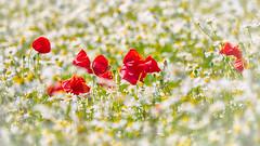 The culmination of summer (Elenovela) Tags: mohnblumen poppies sommer summer wiese meadow schweden sweden sverige gotland dof
