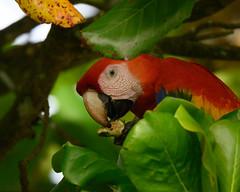 Scarlet Macaw (RosePerry1107) Tags: birds birdlovers birdwatching birding birdwatchers birdwatcher naturephotography nikon nikon500mmpf nikonz6 wildlife wildlifephoto wildlifephotography wildlifelover wildbirds wildlifelovers costarica osapeninsula scarletmacaw scarletmacawinflight
