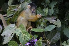 Squirrel monkey (Kusi Seminario) Tags: monkey mono mammal mamifero clouds nubes rainforest selva jungle nature outdoors tambopata madrededios peru southamerica sudamerica canon eos