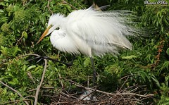 Throwing shade (Shannon Rose O'Shea) Tags: shannonroseoshea shannonosheawildlifephotography shannonoshea shannon greategret egret ardeaalba bird beak feathers wings breedingplumage plumage plumes lores skinnylegs nest trees leaves branches alligatorbreedingmarshandwadingbirdrookery gatorland orlando florida gatorlandbirdrookery rookery outdoors outdoor outside colorful colourful colors colours nature wildlife waterfowl flickr wwwflickrcomphotosshannonroseoshea smugmug camera art photo photography photograph wild wildlifephotography wildlifephotographer wildlifephotograph femalephotographer girlphotographer womanphotographer shootlikeagirl shootwithacamera throughherlens canongirl justagirlwithacamera canon canoneos80d canon80d canon100400mm14556lisiiusm eos80d eos 80d 80dbird canon80d100400mmusmii 2019 5737 birdyfeet longtoes closeup close