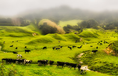Diary cows grazing farmland pasture on a wet foggy day in rural Wairarapa New Zealand (stewart.watsonnz) Tags: pasture herd hill mountain grassland grass field landscape nature cow grazing cattle agriculture farm livestock green animal rural countryside meadow sheep outdoor outdoors pastoral highland naturallandscape mountainouslandforms mammal naturalenvironment farmland noperson ruralarea lush hillstation large ranch grassy plain hillside bull fell many bunch dairycow standing angus bovine