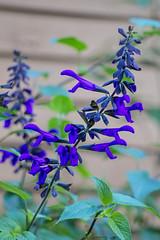 Blue Salvias (Dave In Oregon) Tags: flowers blooms plants summer oregon rainieroregon salvias salvia blue explore