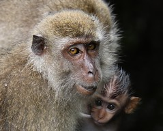 After the rain (rlt64) Tags: macaque