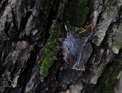 Tree dweller (bd168) Tags: closeup grosplan toile web araignée spider tree arbre écorce bark été summer forest forêt moss mousse details détails fujifilmxt3 xf90mmf2rlmwr