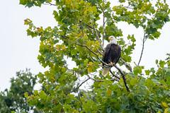Bald Eagle - Lake Monroe, Bloomington, Indiana (Chip Methvin) Tags: bald eagle indiana bloomington lake monroe bird methvin chip nikon wildlife