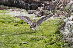 7D2_8450_DPP (SF_HDV) Tags: canon7dmarkii canon7dmark2 7dmarkii 7dmark2 7dm2 california sanfrancisco sanfranciscobay crissyfield crissylagoon bird shorebirds waterbirds rarity ruff juvenileruff