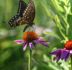 Momma Long-legs (Portraying Life, LLC) Tags: da3004 hd14tc k1mkii michigan pentax ricoh topazaiclear unitedstates butterfly closecrop handheld nativelighting meadow coneflower wild nectar