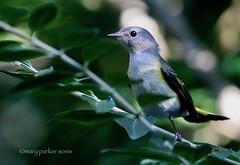 American Redstart (Mary Sonis) Tags: bird warbler redstart carolina migration