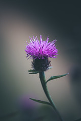 246/365 - Thistle Make You Laugh (Forty-9) Tags: canon eos60d eflens ef100mmf28lmacroisusm lightroom tomoskay forty9 macro project365 365 2019 3652019 project3652019 day246 246365 tuesday photoaday september 3rdseptember2019 03092019 thistle thistlemakeyoulaugh pun flower