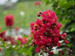 サルスベリ (arty822) Tags: flower サルスベリ 赤