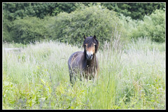 IMG_0091 Pony (Scotchjohnnie) Tags: pony equine mammal horse nature naturephotography canon canoneos canon7dmkii canonef100400f4556lisiiusm scotchjohnnie