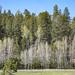 Upright Greer Trees