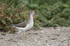 Spotted Sandpiper (featherweight2009) Tags: spottedsandpiper actitismacularius sandpipers shorebirds birds
