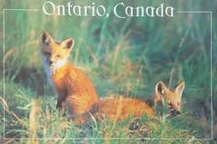 Animals - Foxes - Ontario, Canada (a_garvey) Tags: postcard postcrossing animals jasondavidsforum fox ontario canada