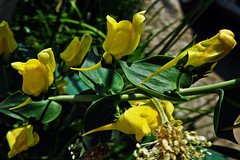 The beauty unknown !! (Lopamudra !) Tags: lopamudra lopamudrabarman lopa kashmir kasmir himalaya himalayas flora flower beauty beautiful jk india yellow nature foliage