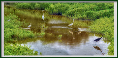 A Family Affair (A Work of Mark) Tags: egrets laguna color landscape water foul grasses green