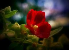 A Hollyhock in my Yard (Dave Linscheid) Tags: flower summer bokeh red butterfield watonwancounty mn minnesota usa smartphotoeditor
