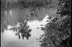 overhanging branches, river, reflections, French Broad River, Asheville, NC, Minolta XG-M, Minolta MD 50mm f-2, Kodak TMAX 400, HC-110 developer, 8.27.19 (1 of 1) (steve aimone) Tags: branches overhangingbranches river reflections frenchbroadriver carrierpark asheville northcarolina minoltaxgm minoltam50mmf2 primelens kodaktmax400 hc110developer 35mm 35mmfilm film blackandwhite monochrome monochromatic