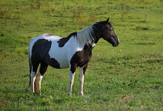 Black and White Painted Horse (ashockenberry) Tags: horse beauty nature livestock equine animal farm pasture west virginia equestrian painted