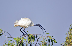 Black-headed ibis (Birdwatcher18) Tags: blackheadedibis ibis orientalwhiteibis indianwhiteibis birds birder birding birdwatching birdwatcher birdonbranch bird birdontree nature natural fauna forest wildlife wild