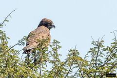 Brown Snake-Eagle (Circaetus cinereus) (Dave 2x) Tags: circaetuscinereus circaetus cinereus brownsnakeeagle brown snakeeagle krugernationalpark kruger southafrica leastconcern