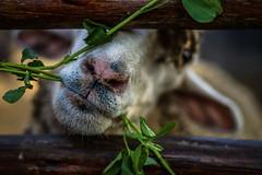 Lamb on a frame. (acgl2015) Tags: lamb animals frame