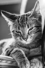 Marley Memories -  Airplane Ears (Picture-Perfect Cats) Tags: marley tabby blackandwhite cat kitten airplaneears cute loungingonstool male